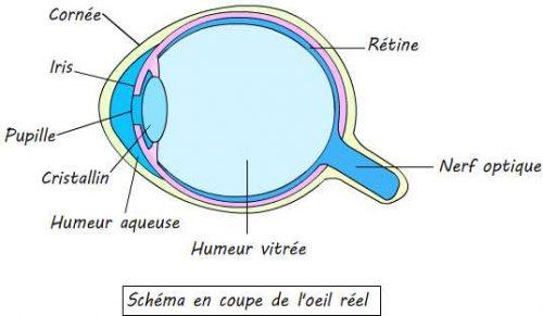 Coupe de l'oeil humain